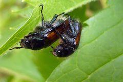 Gemeine Langbauchschwebfliege