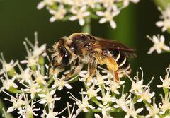 Gemeine Sandbiene (Andrena flavipes) - Weibchen