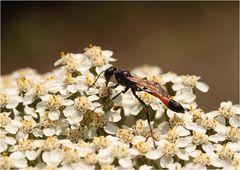 Gemeine Sandwespe (Ammophila sabulosa)