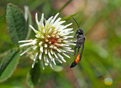 Gemeine Sandwespe (Ammophila sabulosa) - L'ammophile des sables.