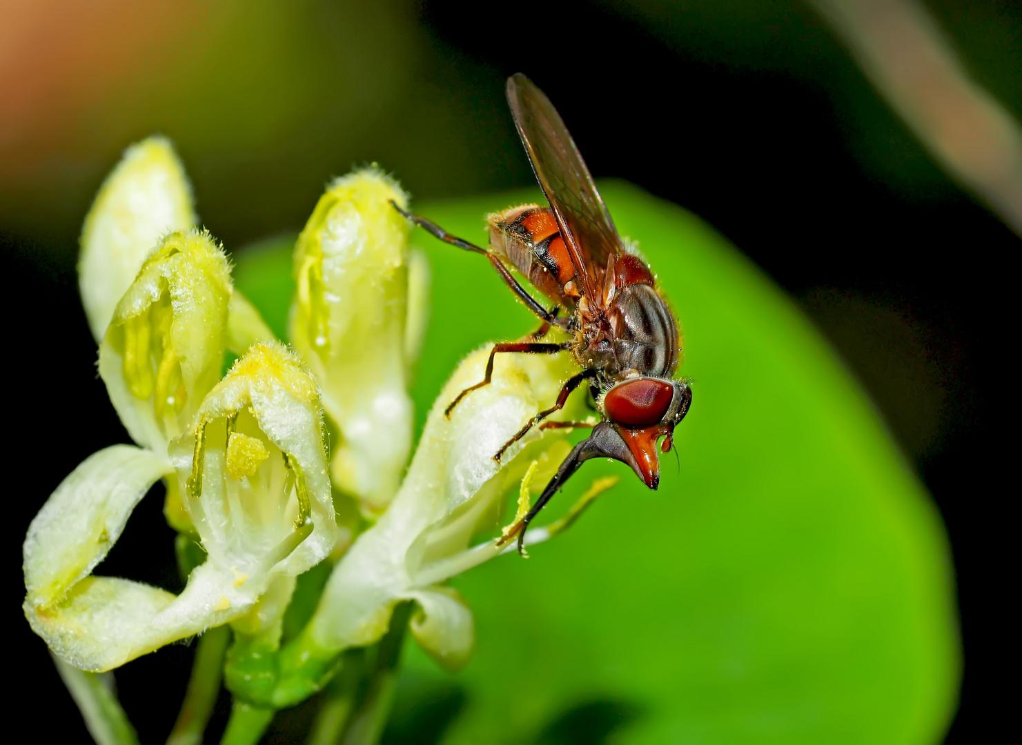 Gemeine Schnauzenschwebfliege (Rhingia campestris) - Rhyngie champêtre.