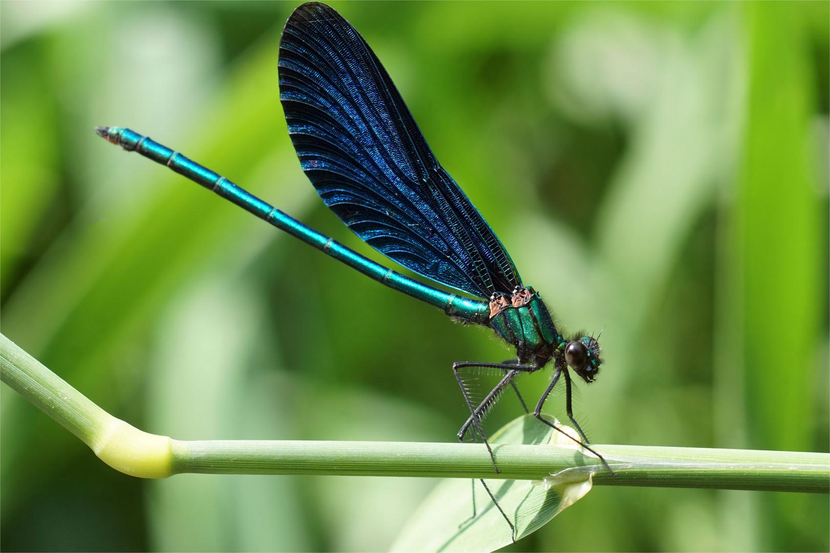 Gemeine Seejungfer ( Blauflügel-Prachtlibelle, mänl.)