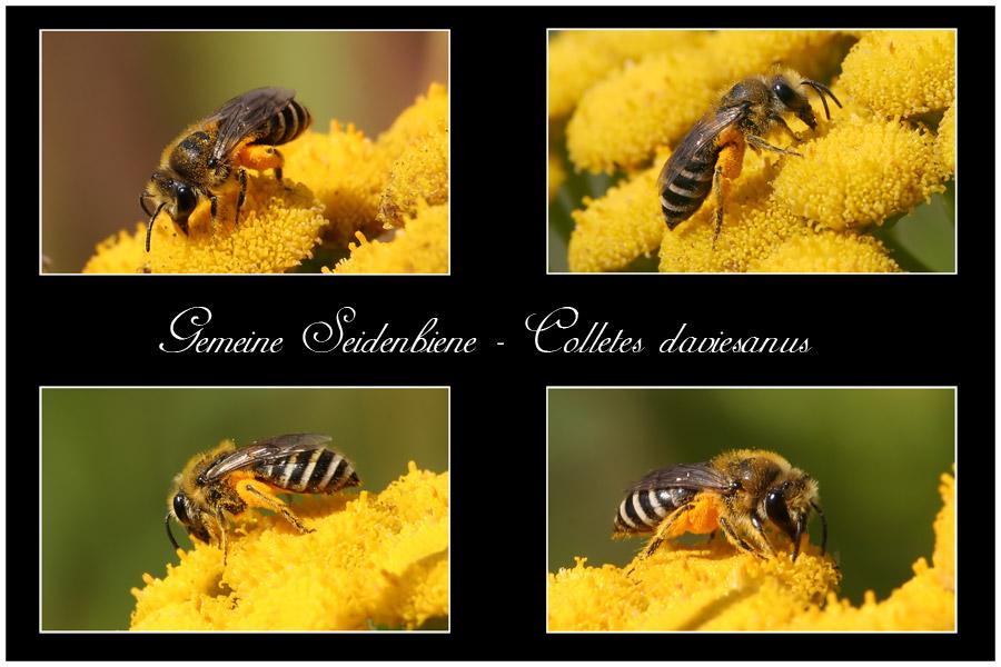 Gemeine Seidenbiene - Colletes daviesanus