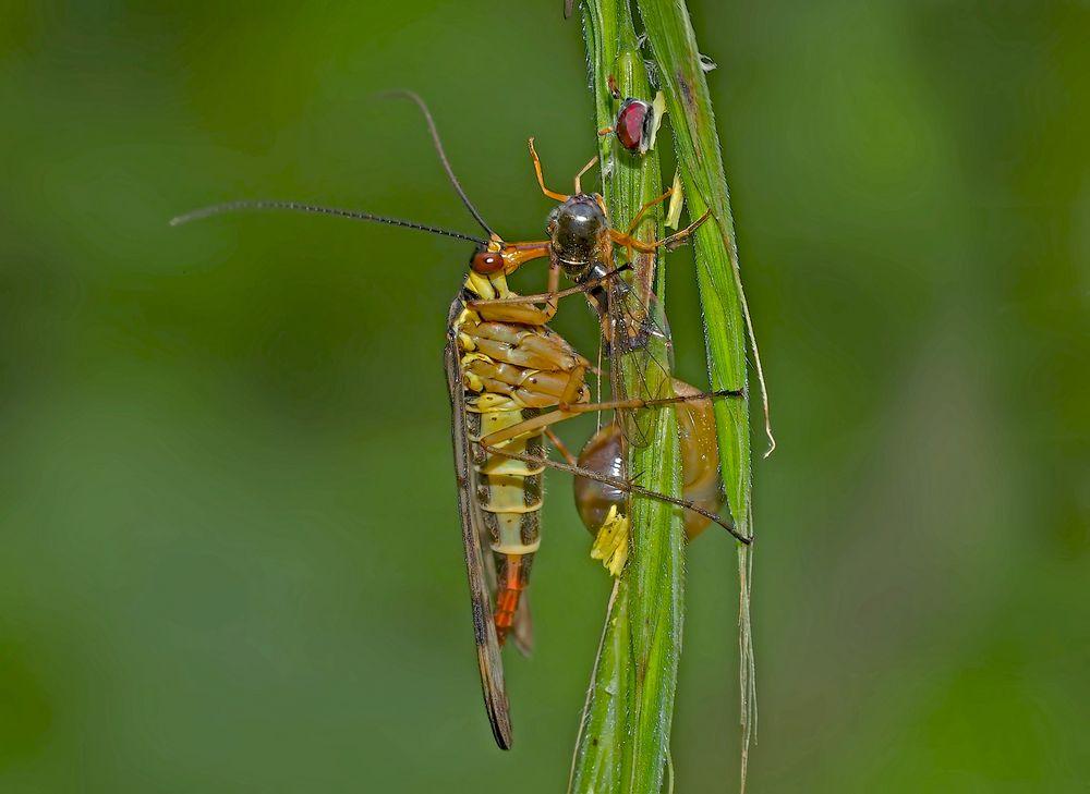 Gemeine Skorpionsfliege (Panorpa communis) am Fressen... - Mouche scorpion.