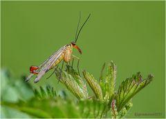 gemeine skorpionsfliege (panorpa communis) m. ....