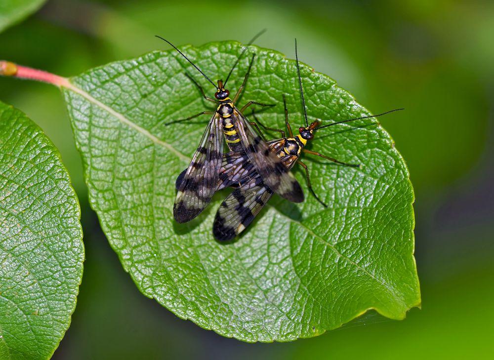 Gemeine Skorpionsfliegen (Panorpa communis) - Mouches scorpion.