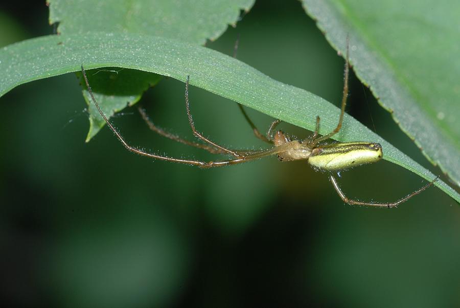 Gemeine Streckerspinne (Tetragnatha extensa)