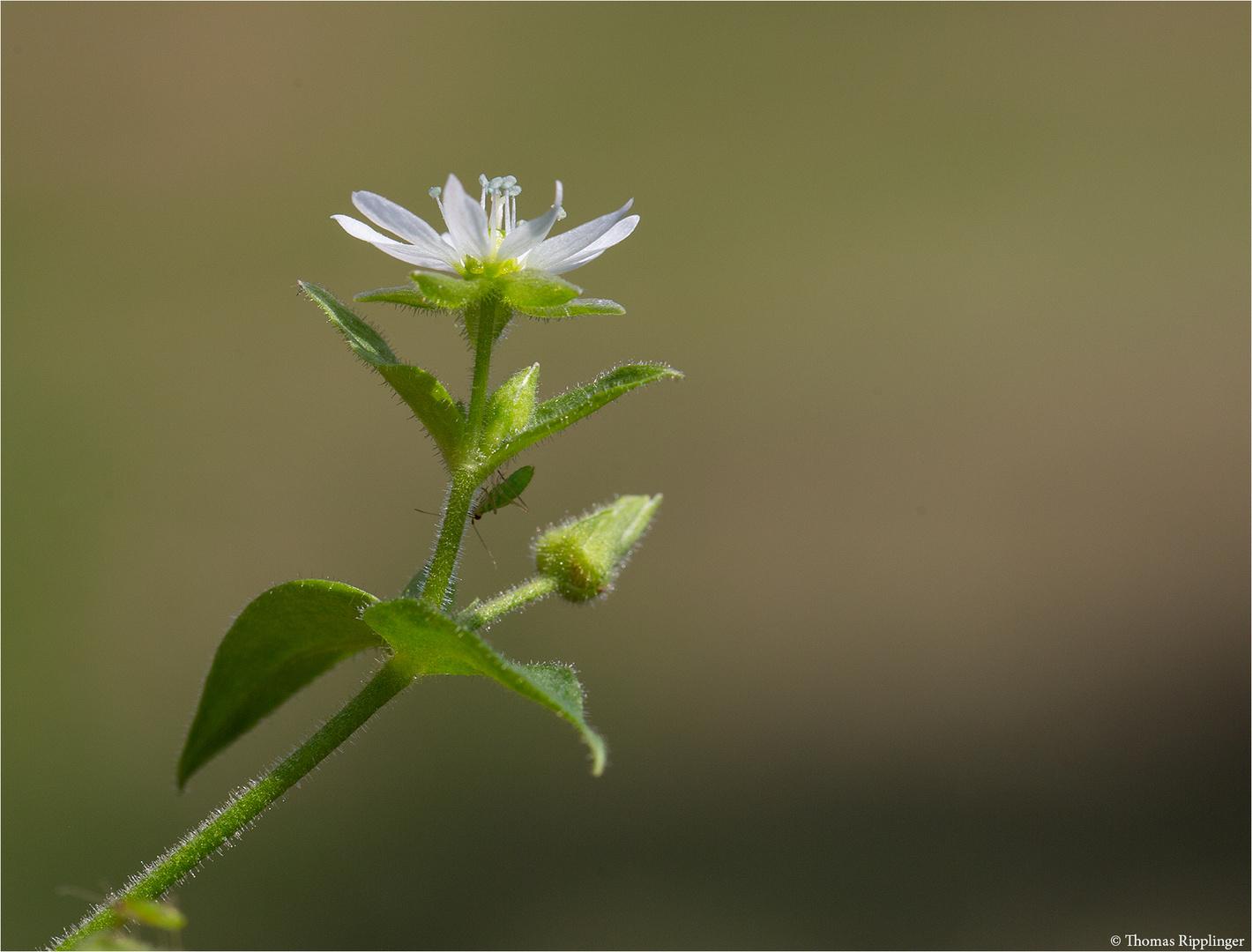Gemeine Wasserdarm (Myosoton aquaticum) 5319