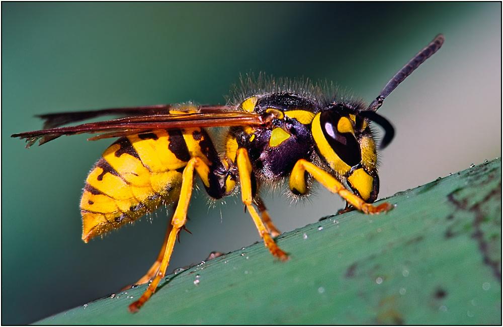 gemeine wespe vespula vulgaris diascan foto bild tiere wildlife insekten bilder auf. Black Bedroom Furniture Sets. Home Design Ideas