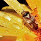 Gemeine Wiesenwanze (Lygus pratensis)