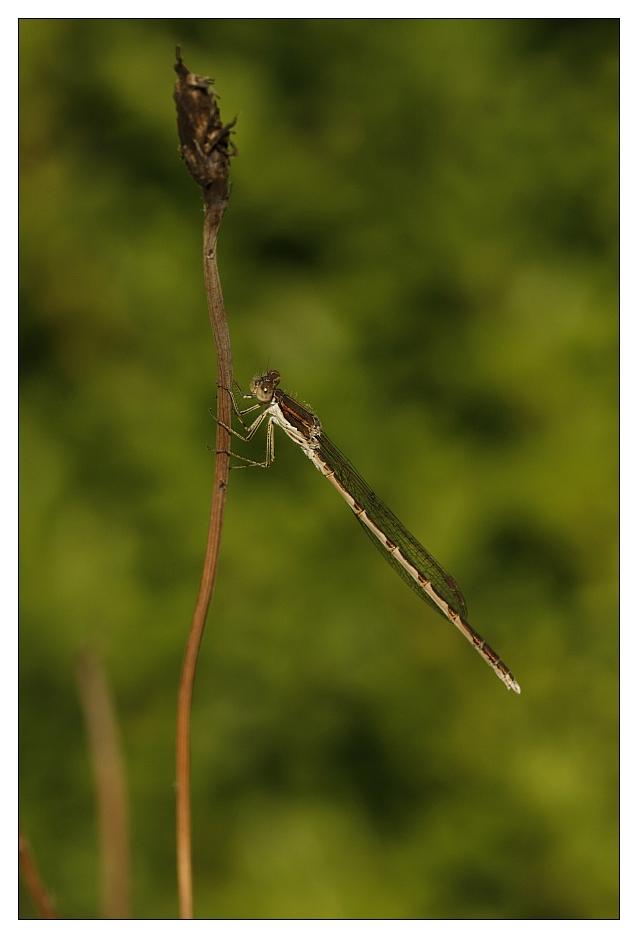 Gemeine Winterlibelle - Sympecma fusca (Vander Linden, 1820)