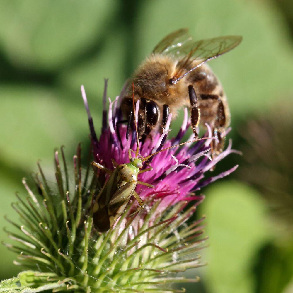 Gemeine Zierwanze und Biene