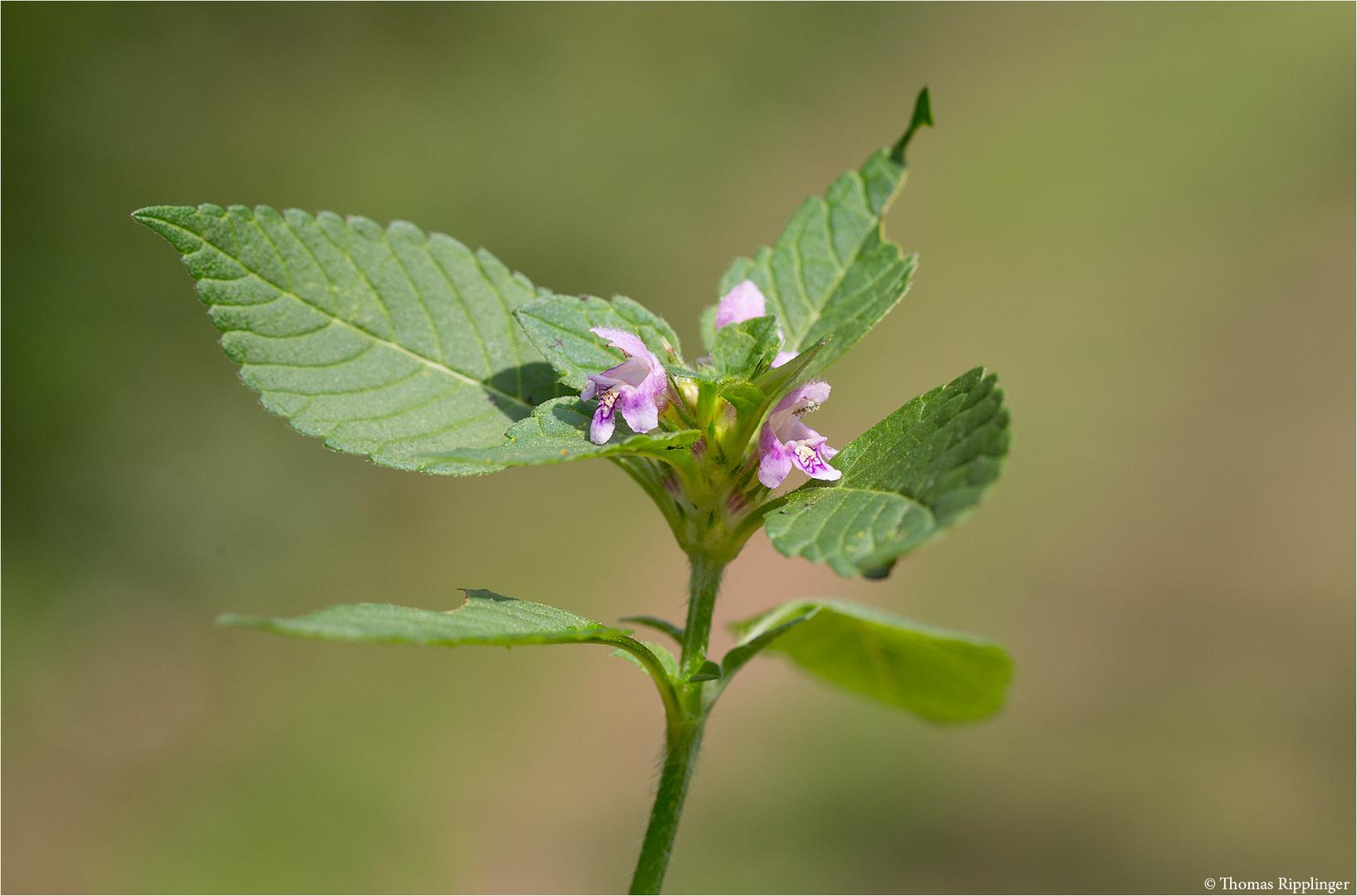 Gemeiner Hohlzahn (Galeopsis tetrahit)