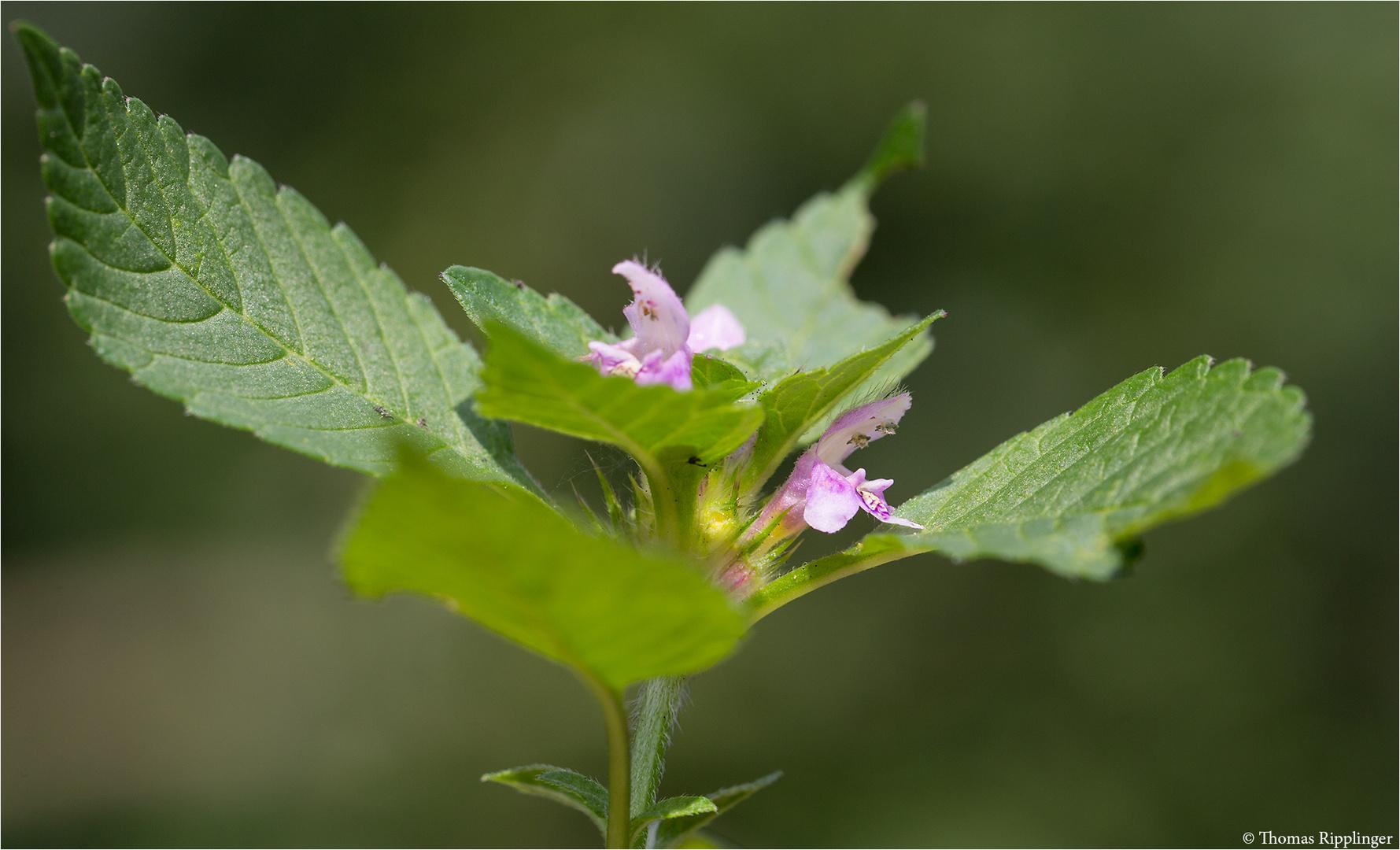 Gemeiner Hohlzahn (Galeopsis tetrahit) 5370
