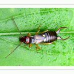 Gemeiner Ohrwurm (Forficula auricularia) Dermaptera