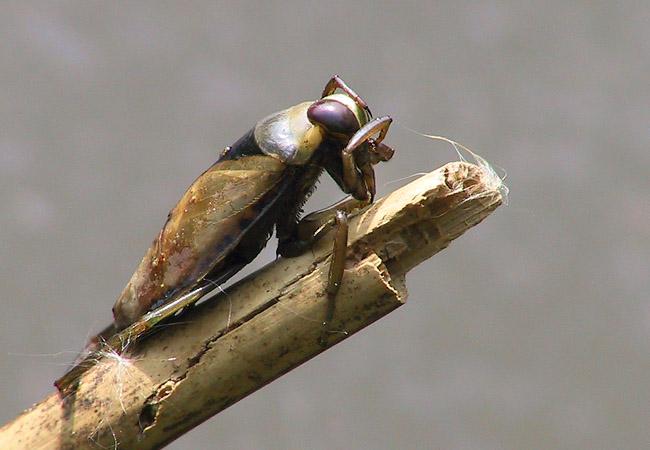 Gemeiner Rückenschwimmer (Notonecta glauca)