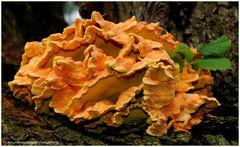 --- Gemeiner-Schwefelporling --- ( Laetiporus )