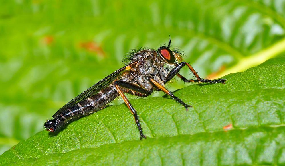 Gemeiner Strauchdieb (Neoitamus cyanurus) * - Asilidé, mouches à toison.