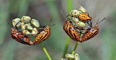 Gemeinsam sind wir stark! Streifenwanzen (Graphosoma lineatum) * - La Punaise arlequin.