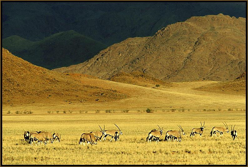 Gemsbock (Oryx)