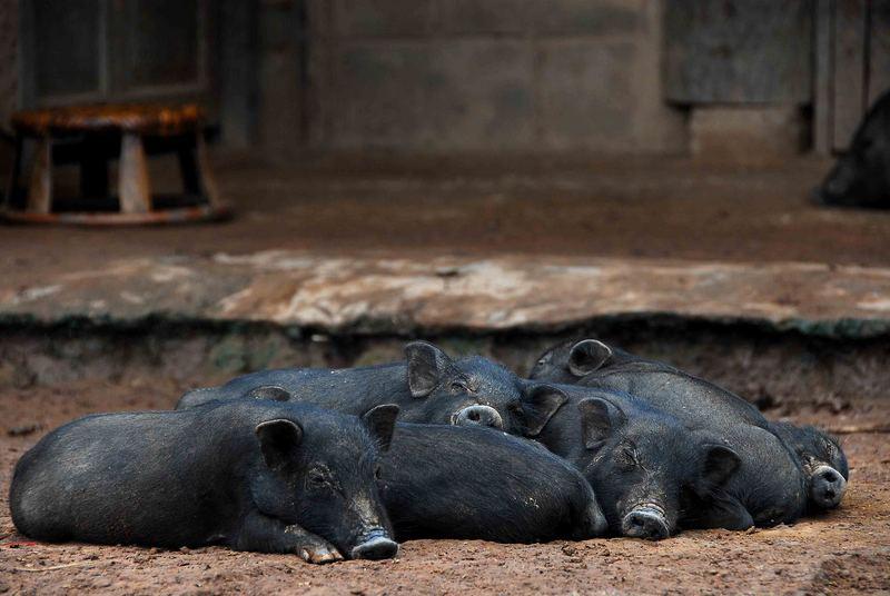 gemütliche Hängebauchschweine inmitten eines Dorfes in der Umgebung von Phonsali