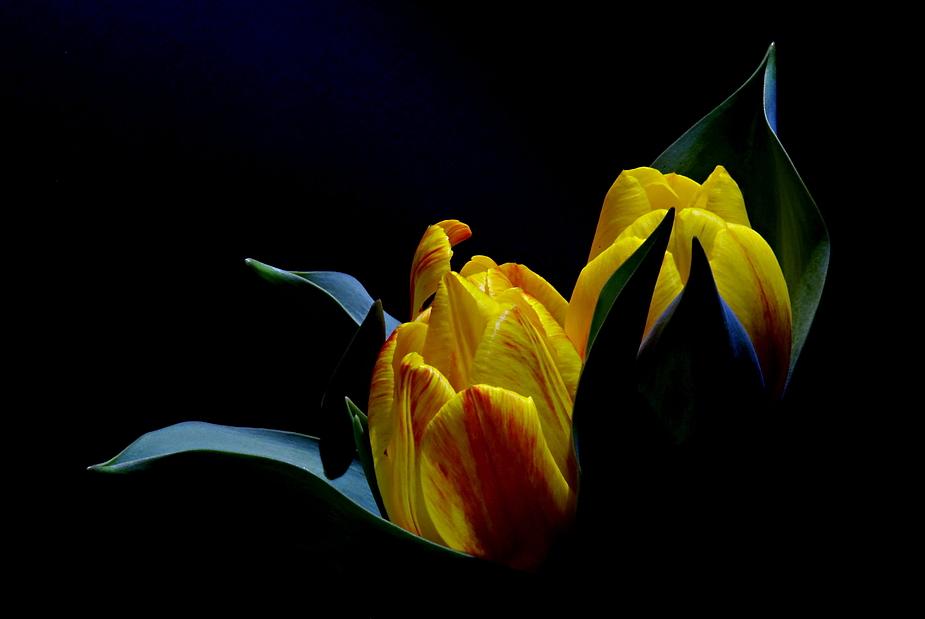 Gemüts- Tulpe
