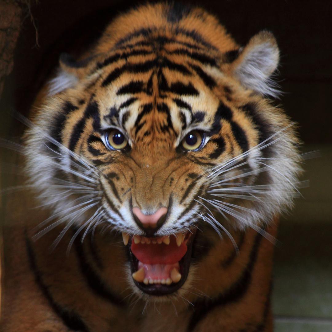 Genervter Tiger Foto Bild Tiere Zoo Wildpark Falknerei
