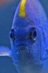 Genicanthus melanospilos - Pazifischer Zebrakaiserfisch