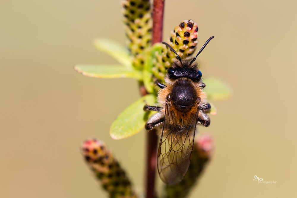 Genießerbiene