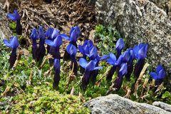 Gentiana brachyphylla-Kurzblättriger Enzian steigt in den Alpen über die ...