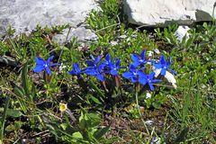 Gentiana verna-Frühlingsenzian aus dem Bereich der 3 Zinnen in Südtirol