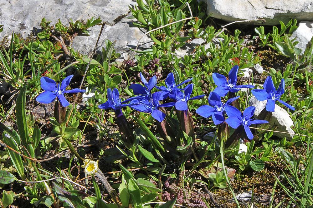Gentiana verna -Frühlingsenzian