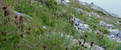 Gentiane purpurea - Purpurenzian am Walliser Mattmarkstausee...