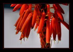 geöffnete Aloe-Blüte
