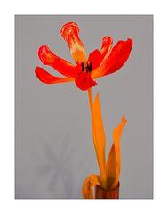 Geöffnete rote Tulpe