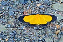Geometridae, Sterrhinae, Smicropus sp., entweder Smicropus eucyrta oder Smicropus ochra