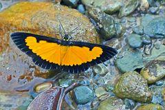 Geometridae, Sterrhinae, Xanthiris flaveolata, Saffron Playboy.