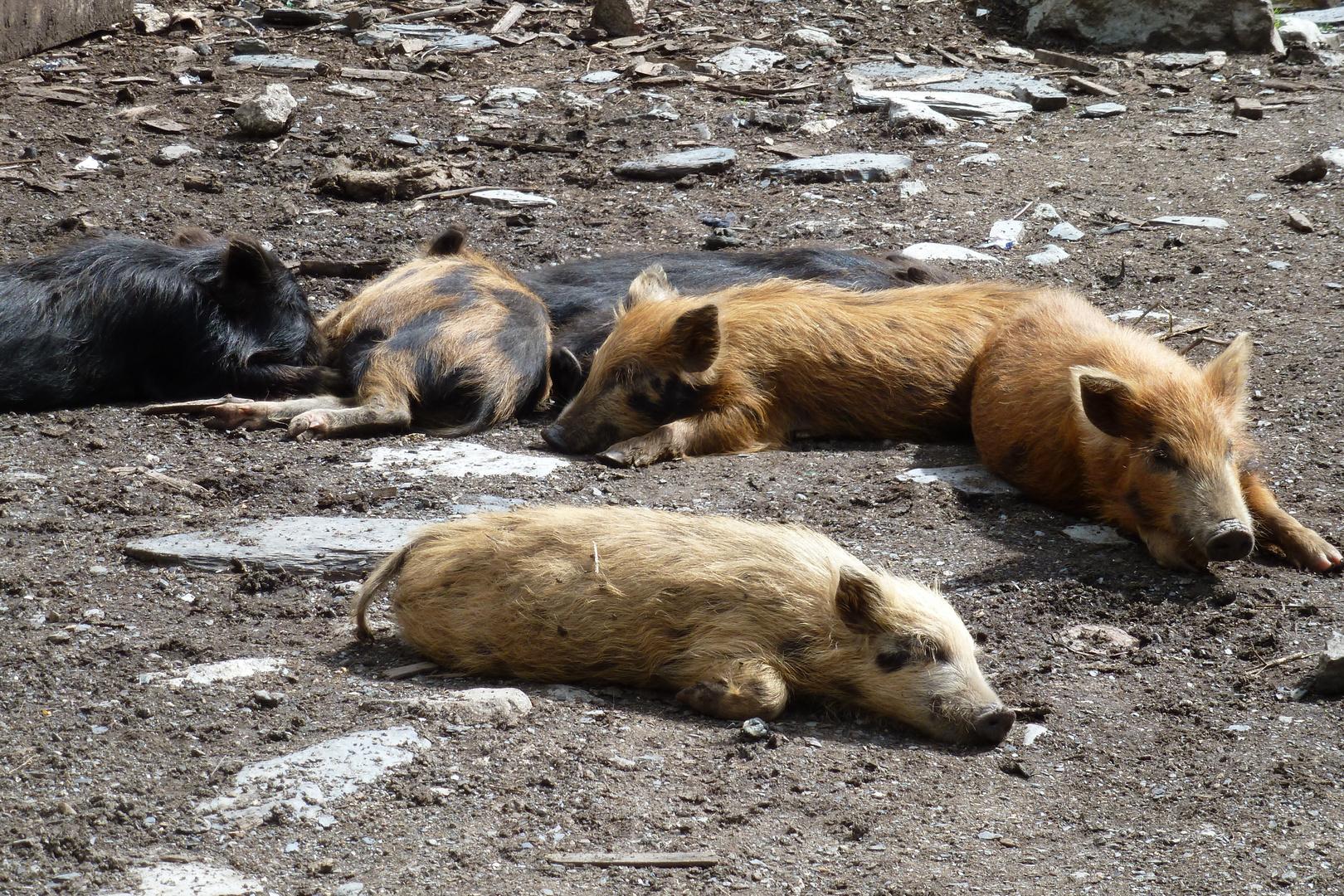 Georgische Schweinchen im Glück