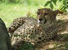 Gepard ...
