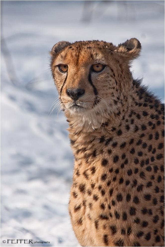 ~ Gepard ~