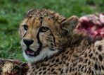 --Gepard--