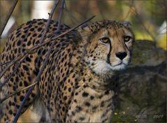 - Gepard -