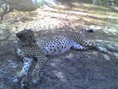 Gepard, Arabia's Wildlife Centre, Desert Park, Sharjah, Vereinigte Arabische Emirate.