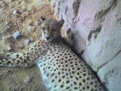 Gepard, Arabia's Wildlife Centre, Desert Park, Sharjah, Vereinigte Arabische Emirate