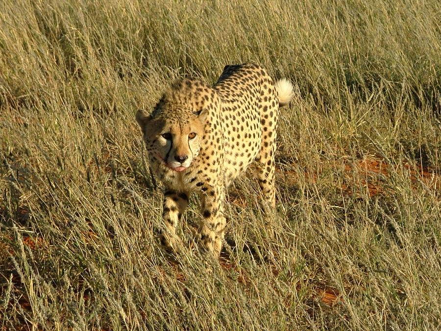 Gepard (auf der Bagatelle Kalahari Gameranch)