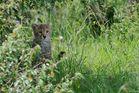 Gepard Baby