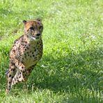 Gepard bei der Jagd