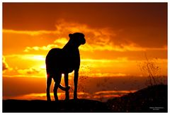 Gepard beim Sonnenuntergang
