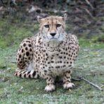 Gepard / cheetah -1-