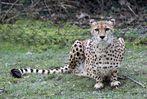Gepard / cheetah -2-